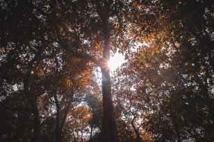 sunlight penetrating trees with brown leaves